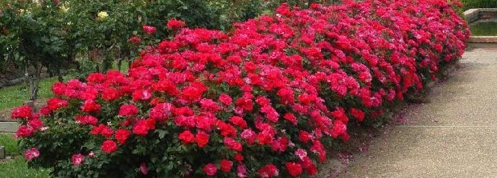 Understanding Knockout Roses