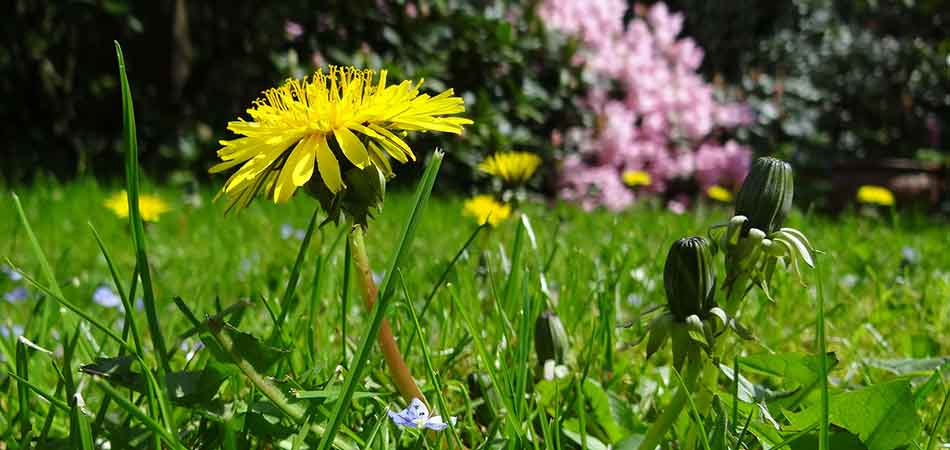 Dandelions are a common weed in the Wauwatosa, WI area, and is one of the weeds that the natural herbicide Beautiful Blooms, LLC uses will help to control.