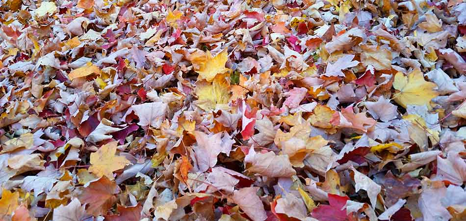 Thick layer of leaves waiting to be removed from a yard in Wauwatosa, WI.